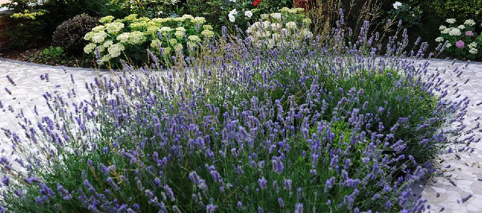 lavender in front garden in west london